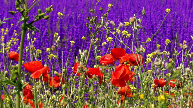 Red poppies on background of purple wild flowers video