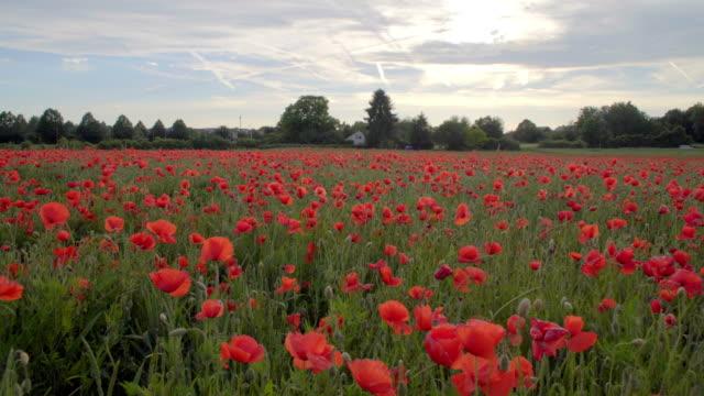 vídeos y material grabado en eventos de stock de amapolas rojas en el campos, grandes flores - amapola planta