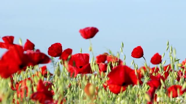 vídeos y material grabado en eventos de stock de poppies rojo - amapola planta