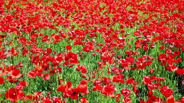 Red Poppy Field; DOLLY SHOT video