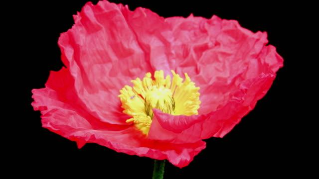 vídeos y material grabado en eventos de stock de rojo amapola flor florecer 4 k - amapola planta