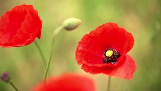Red poppy flower video