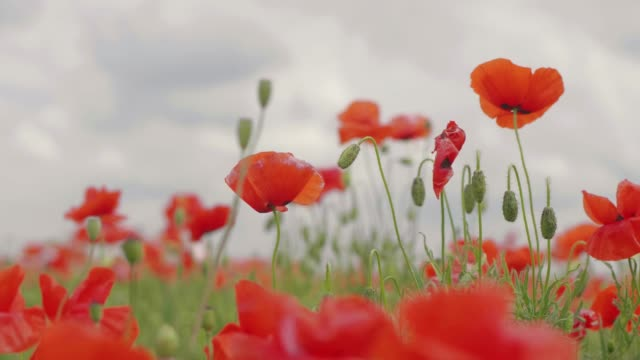 Red poppy flowers blooming in green spring field. poppies in the meadow. wild poppy