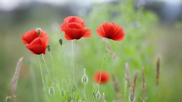 Red poppy flowers blooming in green spring field.