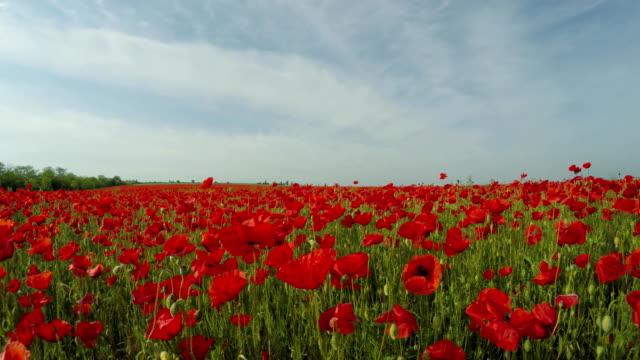 Red Poppy Flowers In Green Meadow video