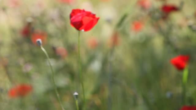Red Poppy In Barley Field Swinging In Wind video