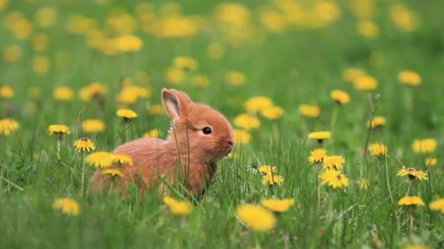 vídeos y material grabado en eventos de stock de conejo rojo sentado entre flor diente de león - pascua