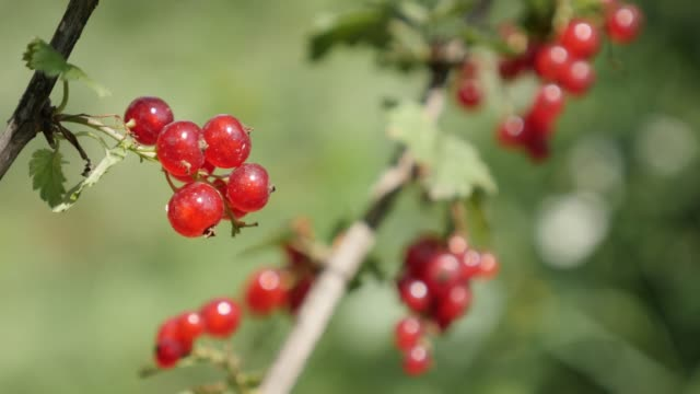 red ribes rubrum juicy fruit pieces natural  shallow dof 4k - ribes rosso video stock e b–roll