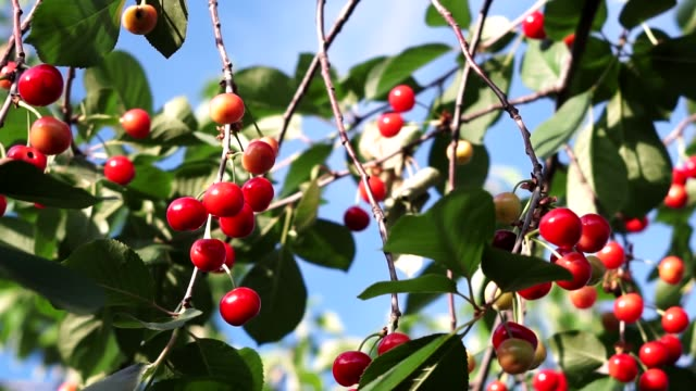 red ripe cherry on a tree branch summer day outdoors