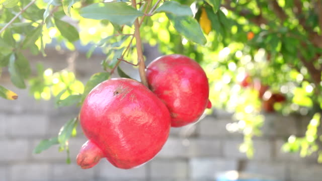 Red ripe pomegranates on a brunch video