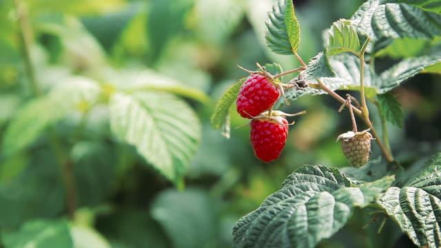 vídeos y material grabado en eventos de stock de frambuesas rojas maduras en un arbusto - frambuesa