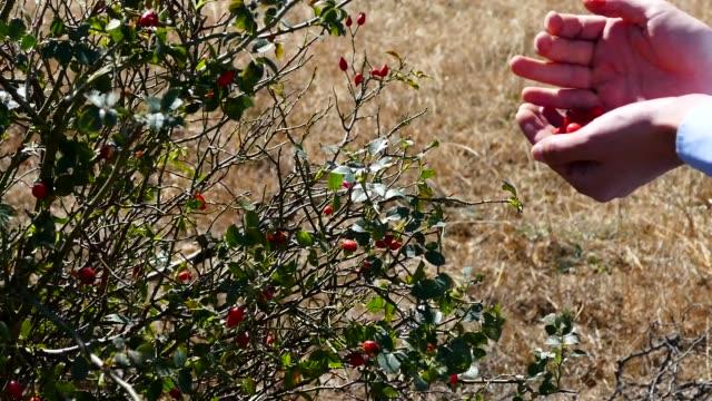 frutta rosa canaro matura rossa in un secchio di appena raccolto. raccogliendo rose fresche, una persona sta raccogliendo rose, - cinorrodo video stock e b–roll