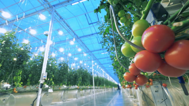 Red ripe tomatoes. Greenery pathway with rows of tomatoes alongside of it