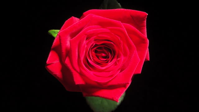 HD: Red Rose Blooming video