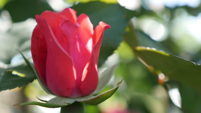 Red rose bud petals outdoor close-up 4K