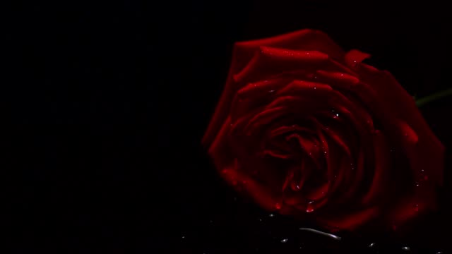 red rose covered with drops of water droplet on black background