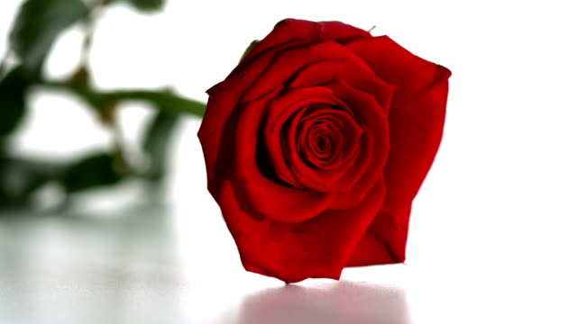 Red rose falling and boucing video