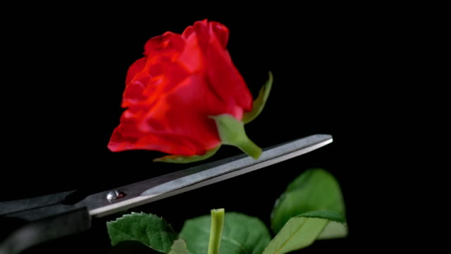 SLO MO Red rose flower being cut off the stem with scissors