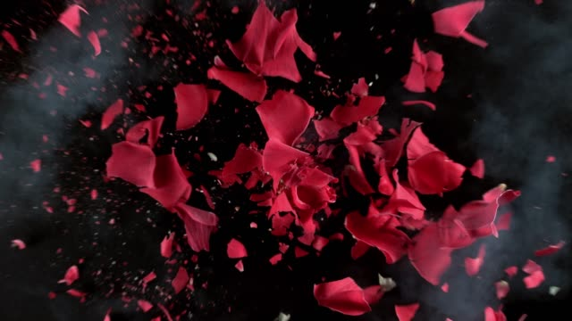 vídeos de stock e filmes b-roll de red rose flower exploding in super slow motion - rosa flor