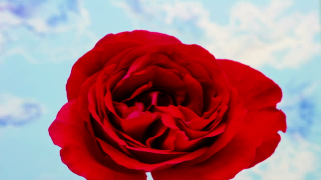 Red rose flower growing timelapse video