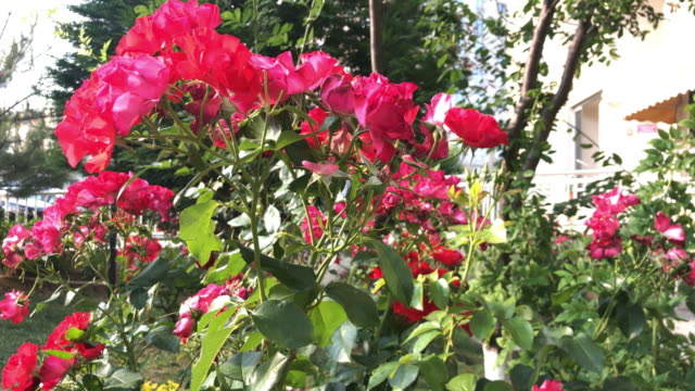 Red Rose flowers in the garden Rose Flower, Botanical Garden, Deciduous Tree, Formal Garden, Plant ornamental garden stock videos & royalty-free footage