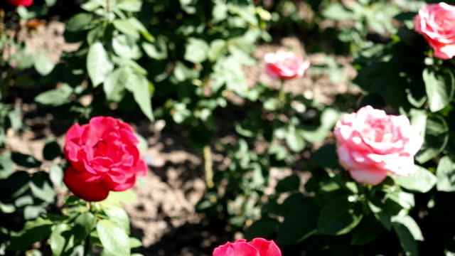 Red Rose flowers in the garden video