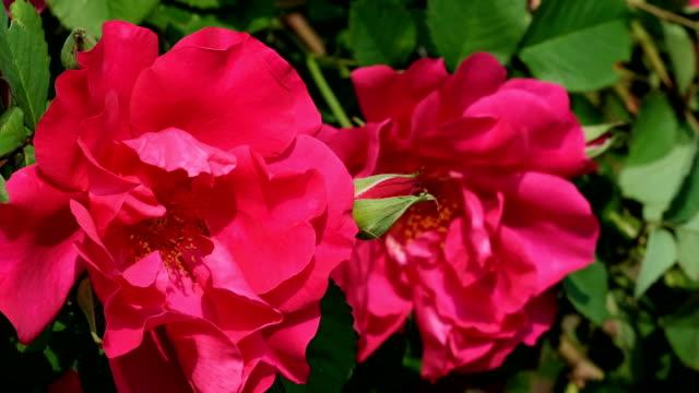Red rose garden blooms