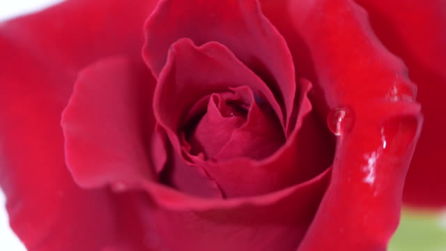 Red rose rotate video