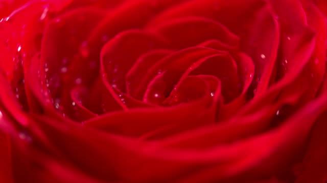 red rose cu roterande med svart bakgrund - ros bildbanksvideor och videomaterial från bakom kulisserna