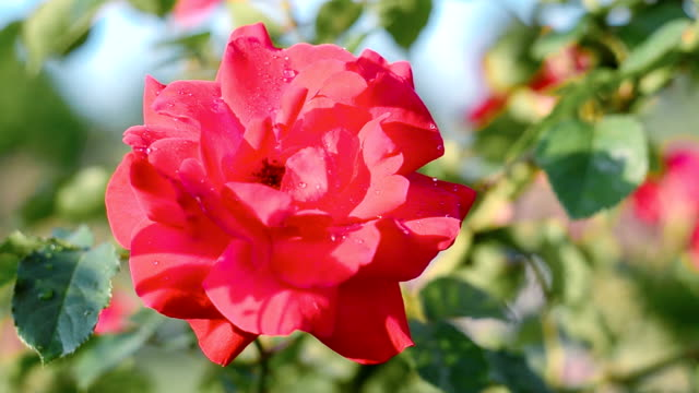 Red rose Red rose blooming in springtime. alternative fuel vehicle videos stock videos & royalty-free footage