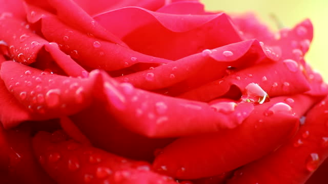 Red Rose with water bead's video