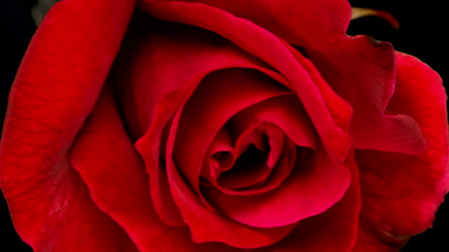 Red Roses Blooming video