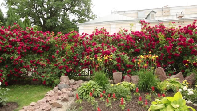 Red roses in a garden, panning shot of beautiful flowers Group of red roses in a garden, panning shot of beautiful flowers. flowerbed stock videos & royalty-free footage