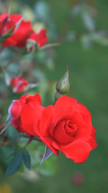 Red roses - vertical video