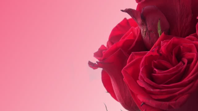 Red Roses with pink background video