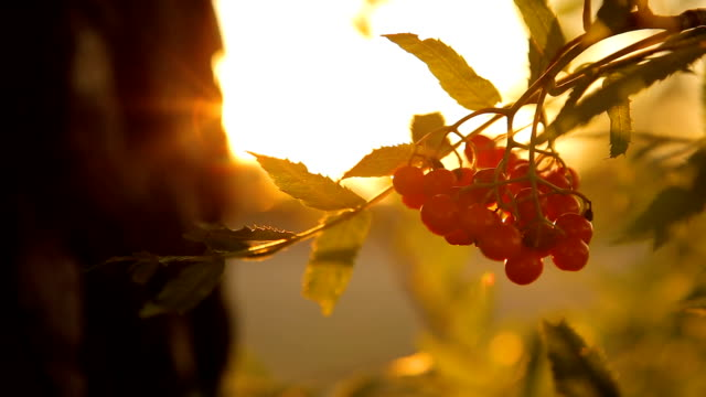 Red rowan bunch at sunset against the sky backlight video
