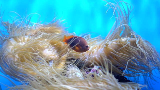 4K Red Saddleback anemonefish and sea anemones video