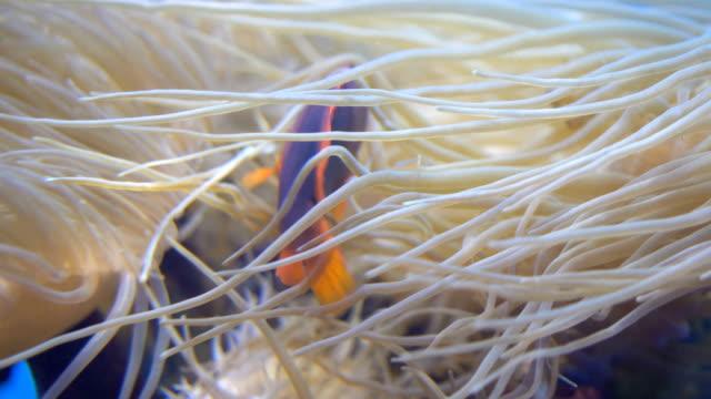 4k red saddleback anemonefish and sea anemones - 20 sekund lub dłużej filmów i materiałów b-roll