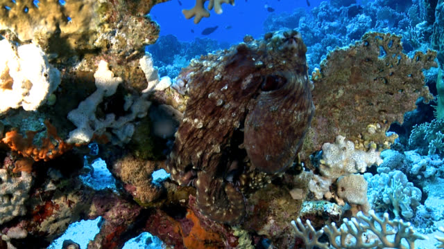 Red Sea Octopus video