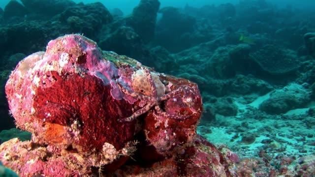 red sea star starfish leiaster leachi lenckia multifora macro underwater. - immerse in the stars video stock e b–roll