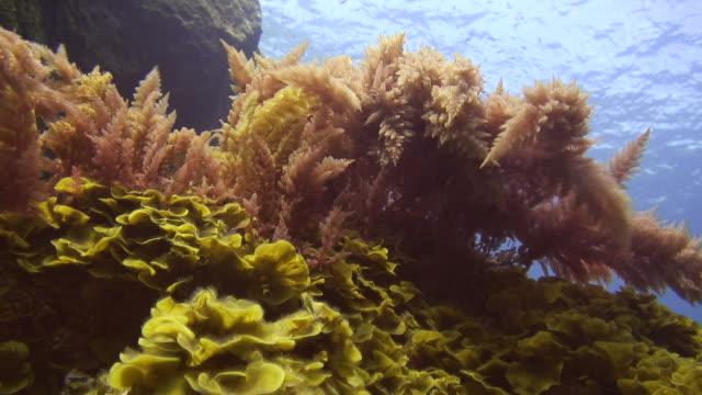 Red seaweed video