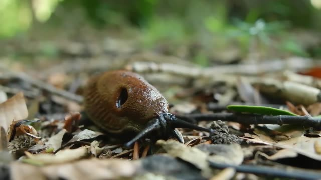 Red slug moving slowly in between brown leaves  in the forest and eating plasma from own eggs