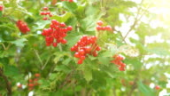 istock Red sorbus on the tree in summer day. Sorbus aucuparia. 1169770182