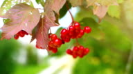 istock Red sorbus on the tree in summer day. Sorbus aucuparia. 1169773086