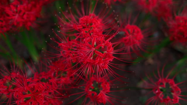 Red spider lilies (Lycoris radiata) in public park at sunset time - part 1 of 2