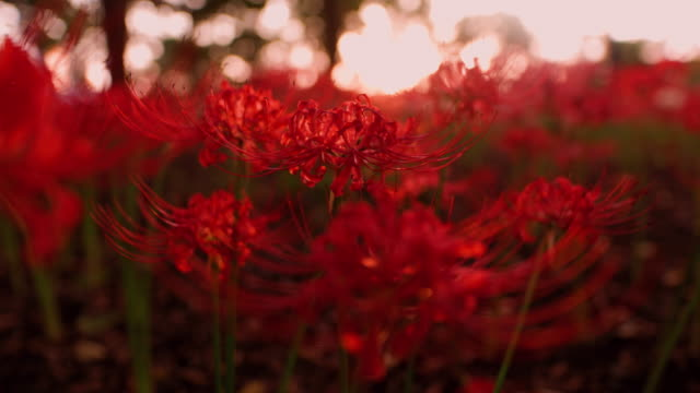 Red spider lilies (Lycoris radiata) in public park at sunset time