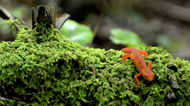 Red Spotted Newt on mossy log video