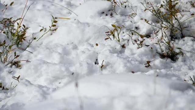 kırmızı sincap kemiren gıda ile kazık kar burrowing - kemirgen stok videoları ve detay görüntü çekimi