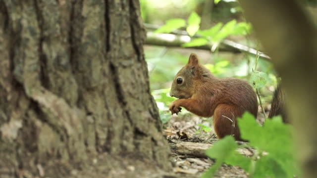 Red squirrel close up on forest background. Clip. Little adorable hungry squirrel eating a nut near a tree trunk and green forest plants, concept of wildlife Red squirrel close up on forest background. Clip. Little adorable hungry squirrel eating a nut near a tree trunk and green forest plants, concept of wildlife. mammal stock videos & royalty-free footage