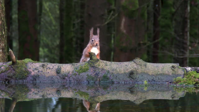 Red squirrel drinking from a pool of standing water video